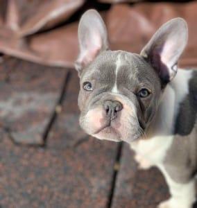 Blue French Bulldog French Bulldog Colors Ethical Frenchie