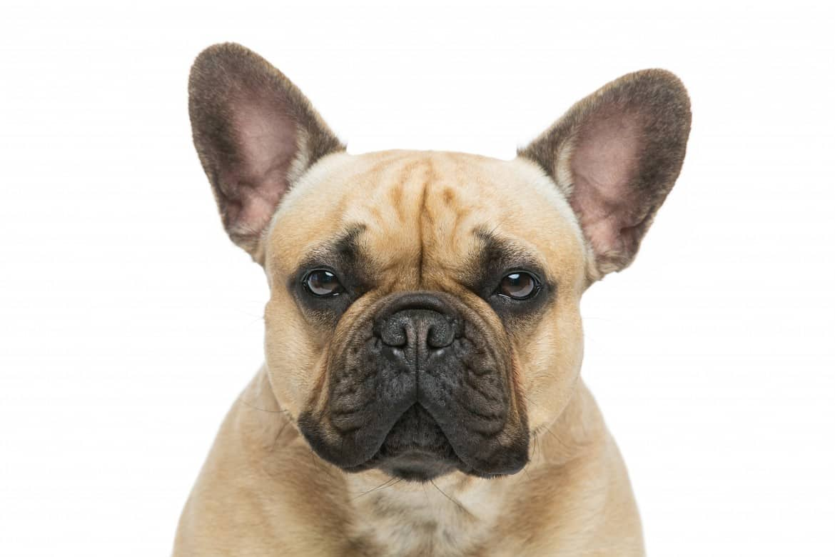 The Rise of French Bulldog Theft: What You Need to Know and Solve