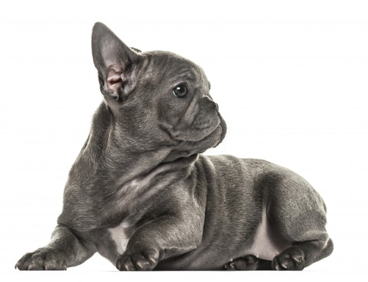 Things You Should Know Before Getting a French Bulldog