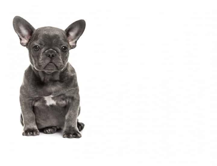 Potty Training Your French Bulldog