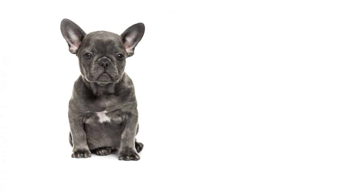 Blue Frenchie Puppy Banner Image
