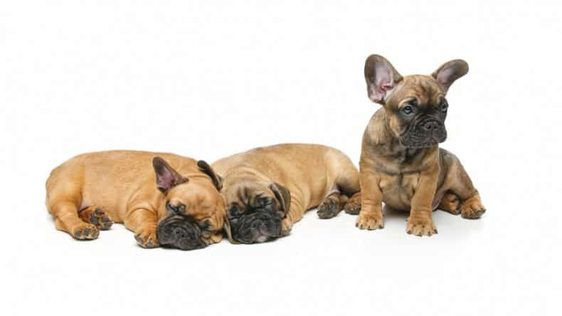 French Bulldog Puppies under 500$ – WHY IT'S IMPOSSIBLE