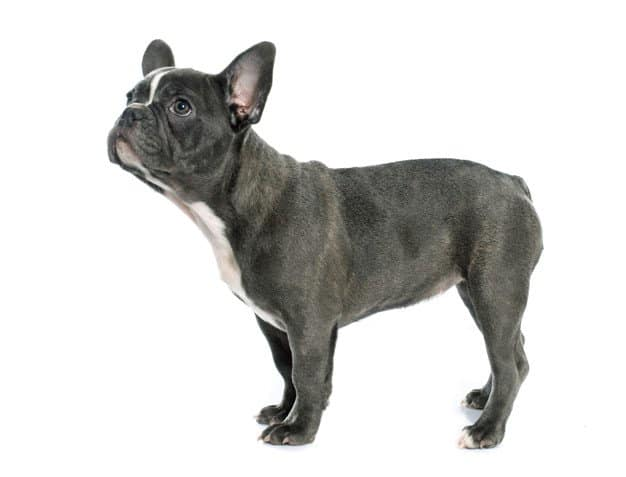what is a blue french bulldog