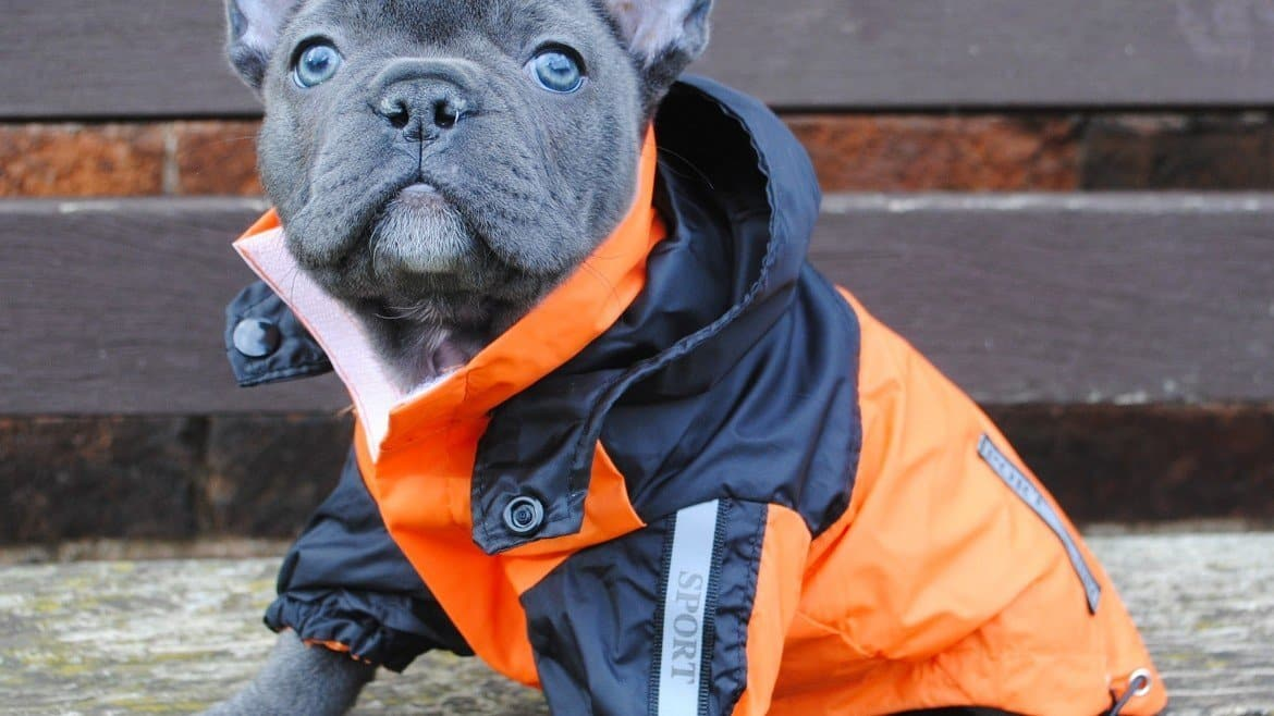 The Best Winter Outfits For French Bulldogs – 2019 Collection – Buyer's Guide