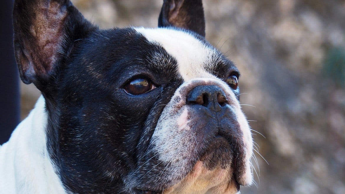 Why French Bulldogs Are Expensive Before Adoption