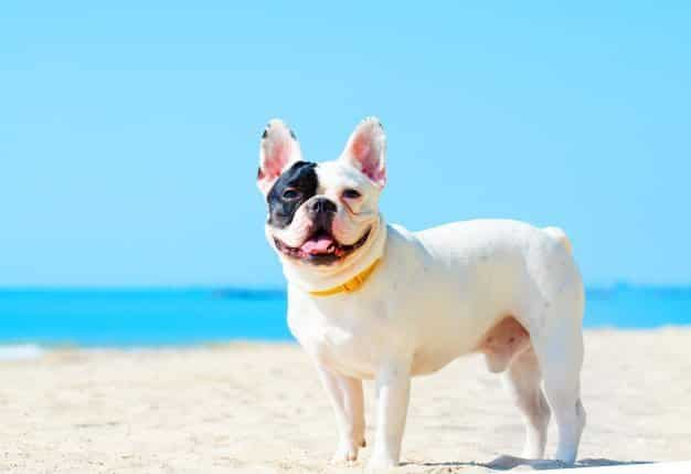 Traits of a French bulldog you may not know