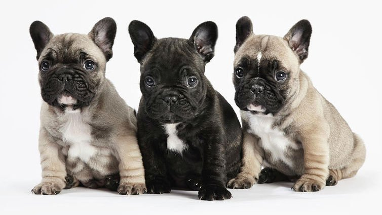 French bulldog health risks