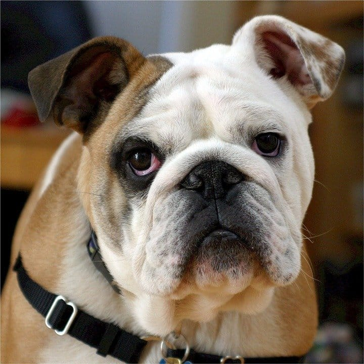 common genetic health issues of Frenchies