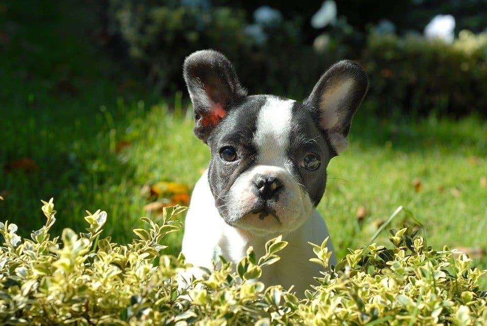 French bulldog health risks – Welfare problems behind the cute face